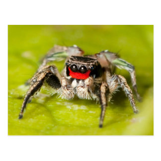 Jumping Spider Post Card