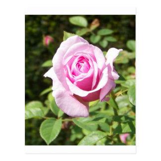 June Rose - Pink Postcards