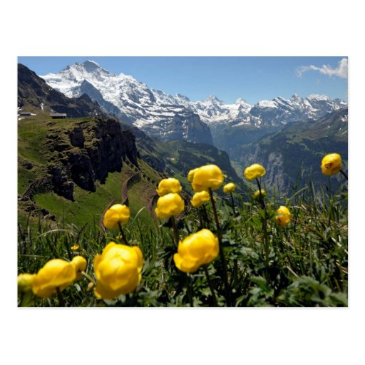 Jungfrau range, yellow wild flowers postcard