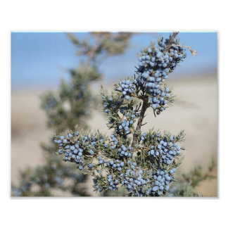 Juniper berry photography photo print