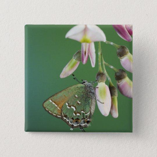 Juniper Hairstreak, Callophrys gryneus, adult on Button