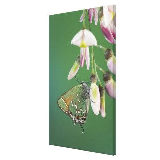 Juniper Hairstreak, Callophrys gryneus, adult on Canvas Print
