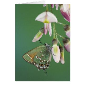 Juniper Hairstreak, Callophrys gryneus, adult on Card