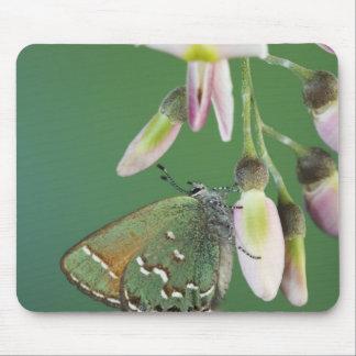 Juniper Hairstreak, Callophrys gryneus, adult on Mouse Pad