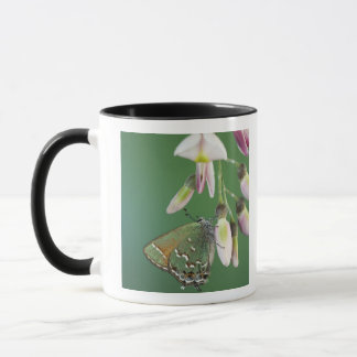 Juniper Hairstreak, Callophrys gryneus, adult on Mug