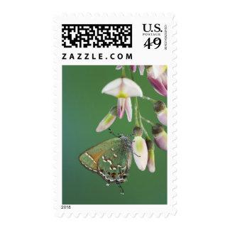 Juniper Hairstreak, Callophrys gryneus, adult on Postage Stamp
