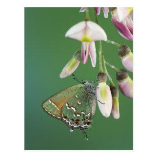 Juniper Hairstreak, Callophrys gryneus, adult on Postcard