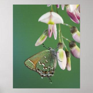 Juniper Hairstreak, Callophrys gryneus, adult on Poster