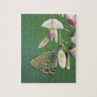 Juniper Hairstreak, Callophrys gryneus, adult on Puzzle