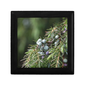 Juniperus berries on a tree jewelry box