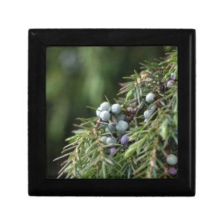 Juniperus berries on a tree jewelry box