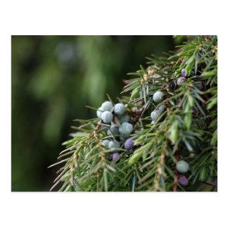 Juniperus berries on a tree postcard