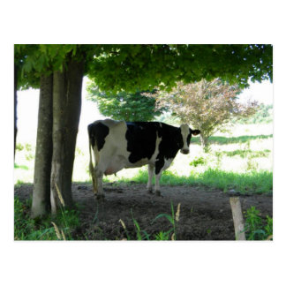 Just a Cow chillin under trees with grass Postcard