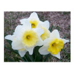 Just a Little Daffodil... Postcards
