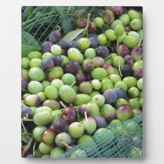 Just picked olives on the net during harvest time plaque