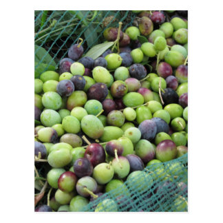 Just picked olives on the net during harvest time postcard