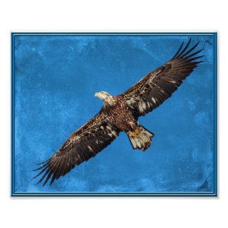 Juvenile Bald Eagle in flight Photo Print