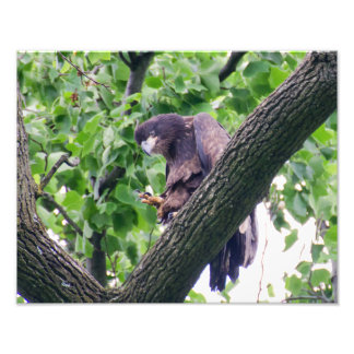 Juvenile Bald Eagle Photo Print