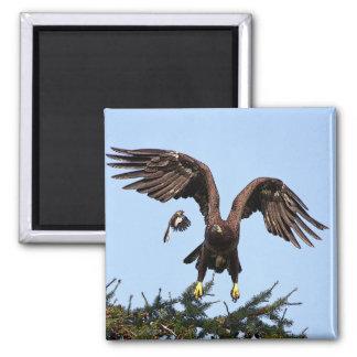 Juvenile Bald Eagle taking off Magnet