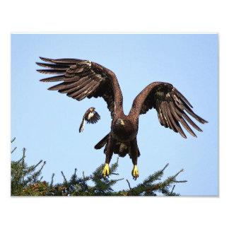 Juvenile Bald Eagle taking off Photo Print