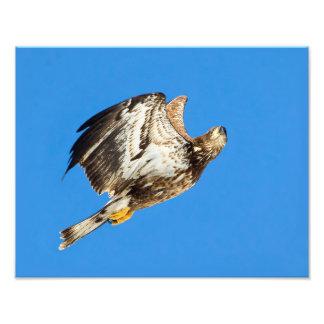 Juvenile Bald Eagle Up And Up Photo Print