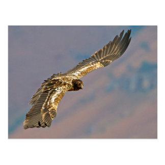 Juvenile Bearded Vulture (Gypaetus Barbatus) Postcard