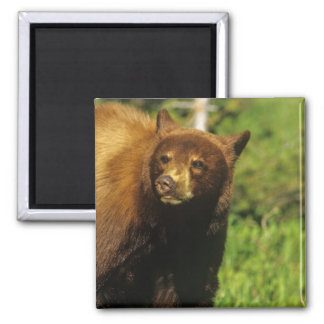 Juvenile black bear at Waterton Lakes National 2 Inch Square Magnet