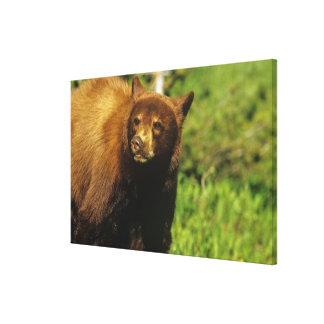 Juvenile black bear at Waterton Lakes National Canvas Print