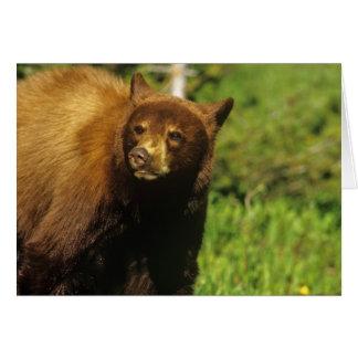 Juvenile black bear at Waterton Lakes National Card