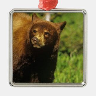 Juvenile black bear at Waterton Lakes National Metal Ornament