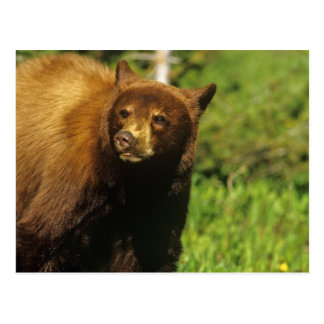 Juvenile black bear at Waterton Lakes National Postcard