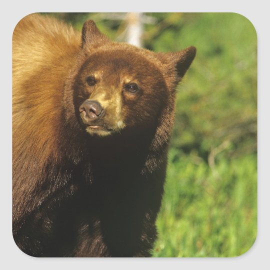 Juvenile black bear at Waterton Lakes National Square Sticker