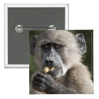 Juvenile Chacma baboon (Papio ursinus) eats nuts Button