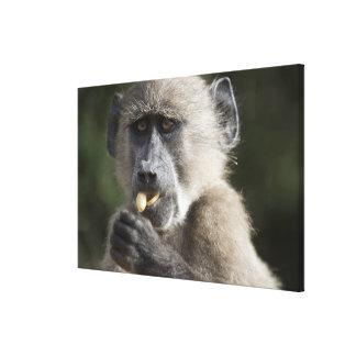 Juvenile Chacma baboon (Papio ursinus) eats nuts Stretched Canvas Prints