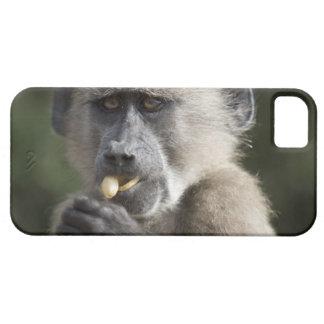 Juvenile Chacma baboon (Papio ursinus) eats nuts iPhone 5 Cover