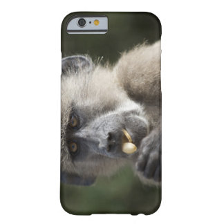 Juvenile Chacma baboon (Papio ursinus) eats nuts Barely There iPhone 6 Case