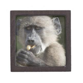 Juvenile Chacma baboon (Papio ursinus) eats nuts Jewelry Box