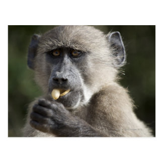 Juvenile Chacma baboon (Papio ursinus) eats nuts Postcards