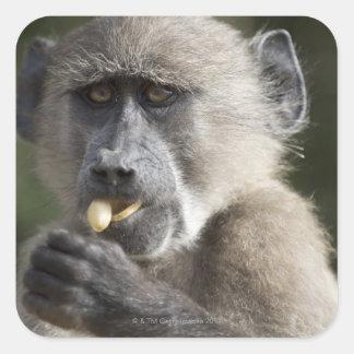 Juvenile Chacma baboon (Papio ursinus) eats nuts Sticker