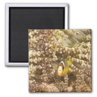 juvenile Clark's Anemonefish (Amphiprion) 2 Inch Square Magnet