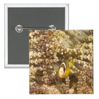 juvenile Clark's Anemonefish (Amphiprion) Button