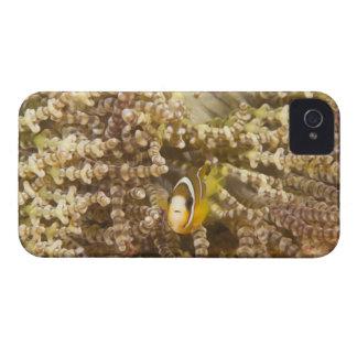 juvenile Clark's Anemonefish (Amphiprion) Case-Mate iPhone 4 Case