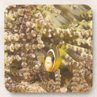 juvenile Clark's Anemonefish (Amphiprion) Beverage Coasters