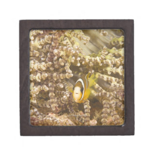 juvenile Clark's Anemonefish (Amphiprion) Gift Box