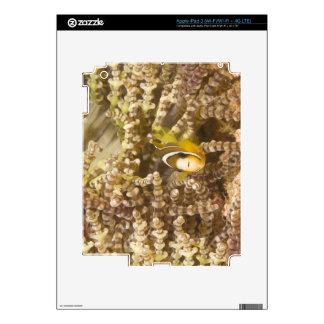 juvenile Clark's Anemonefish (Amphiprion) iPad 3 Skin