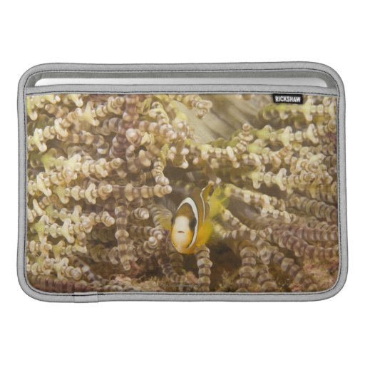 juvenile Clark's Anemonefish (Amphiprion) MacBook Air Sleeves