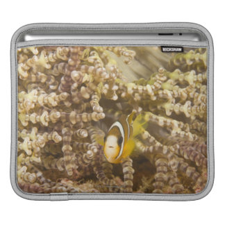 juvenile Clark's Anemonefish (Amphiprion) iPad Sleeves