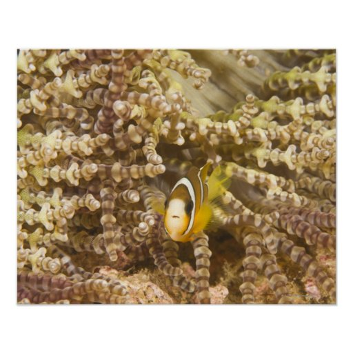 juvenile Clark's Anemonefish (Amphiprion) Posters