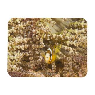 juvenile Clark's Anemonefish (Amphiprion) Rectangular Photo Magnet