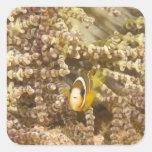 juvenile Clark's Anemonefish (Amphiprion) Sticker